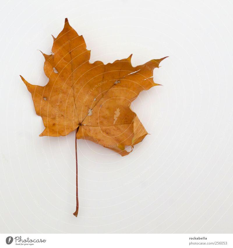 entropie I. Natur Pflanze Blatt Herbst Umwelt elegant natürlich ästhetisch Ahorn Ahornblatt