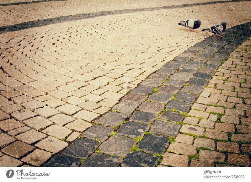 600 * cobblestones Stadt Stadtzentrum Tier Wildtier Vogel Taube 2 Tierpaar gehen Spaziergang Pflastersteine Bodenbelag Strukturen & Formen Straße Moos