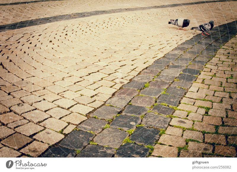 600 * cobblestones Stadt Tier Straße Vogel gehen Tierpaar Wildtier Perspektive Bodenbelag paarweise Spaziergang Moos Stadtzentrum Taube Pflastersteine Bewegung