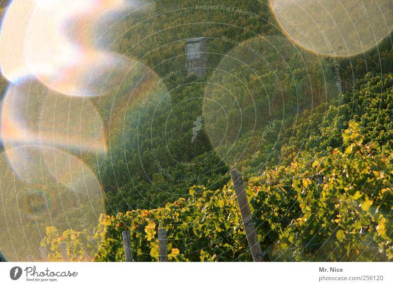 summer wine Umwelt Natur Landschaft Wetter Pflanze Hügel Wachstum Nutzpflanze Weinberg Weinbau grün Wassertropfen Regen Ernte Weinlese Hochsitz Fleck Licht