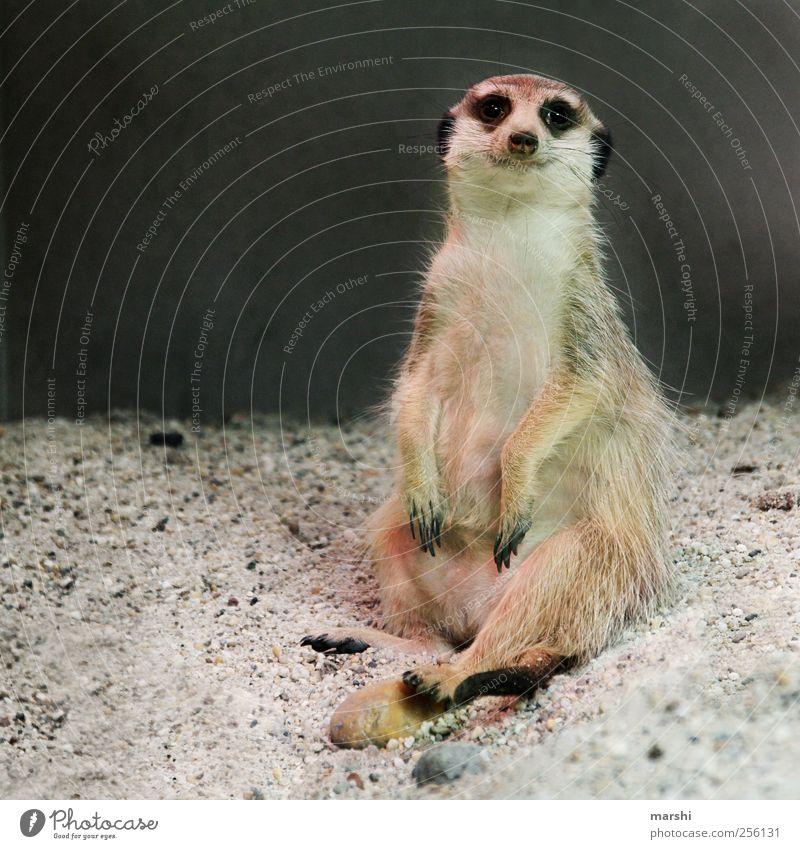 Paul, der Lässige Tier Zoo 1 braun Erdmännchen Fell Krallen Sand sitzen schön Pfote Farbfoto Tierporträt