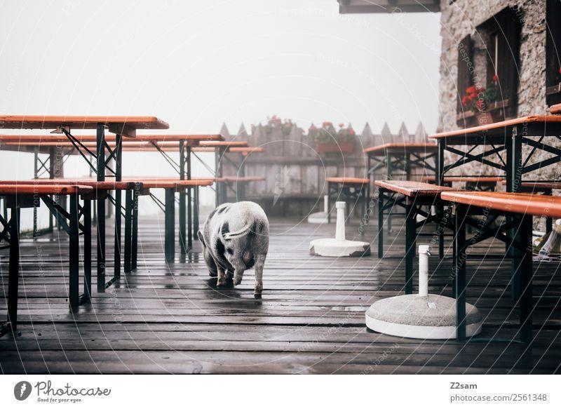 Minischwein im Biergarten Nebel Alpen Berge u. Gebirge Schwein minischwein Hausschwein 1 Tier gehen klein natürlich niedlich ruhig Farbfoto Außenaufnahme