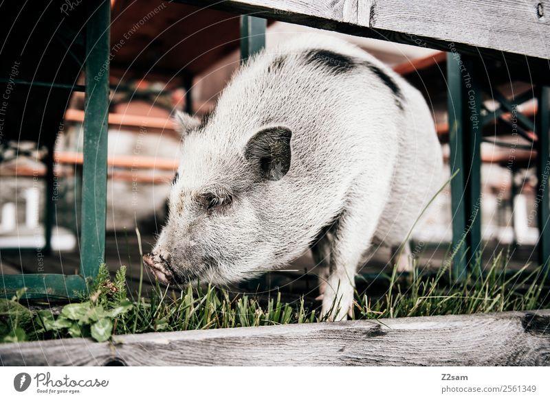Minischwein 2 Natur Landschaft schlechtes Wetter Wiese Schwein Hausschwein stehen Freundlichkeit schön klein natürlich Neugier niedlich ruhig Idylle Alm