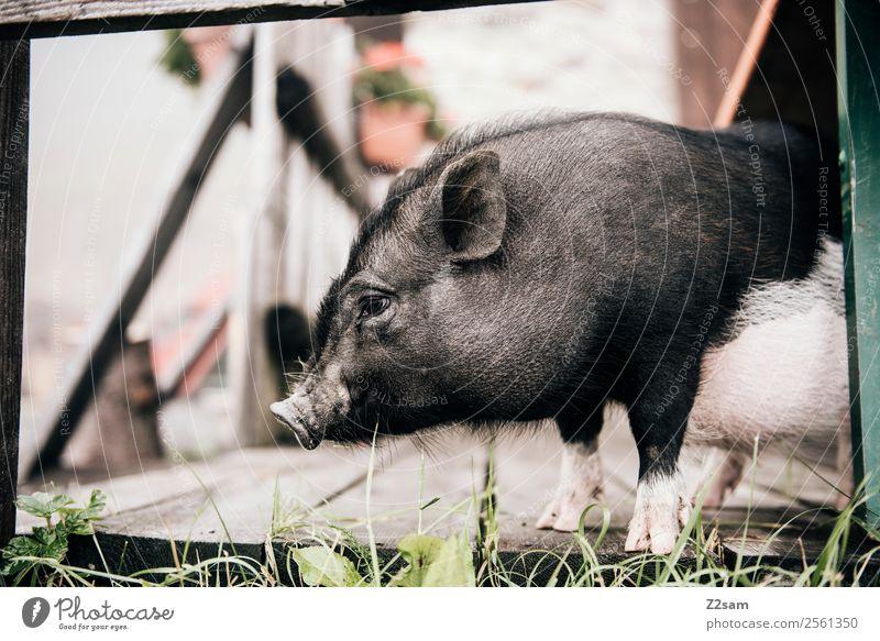 Minischwein Natur Landschaft Wiese Tier Schwein minischwein 1 beobachten stehen frech niedlich ruhig Idylle Alm Österreich Farbfoto Außenaufnahme Kontrast