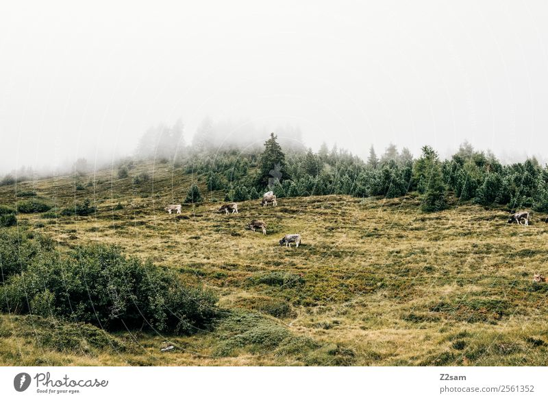 Kühe im Pitztal Natur Landschaft ruhig Wald Berge u. Gebirge Wiese Zusammensein Freundschaft wandern Nebel trist Idylle stehen Gipfel nachhaltig Fressen