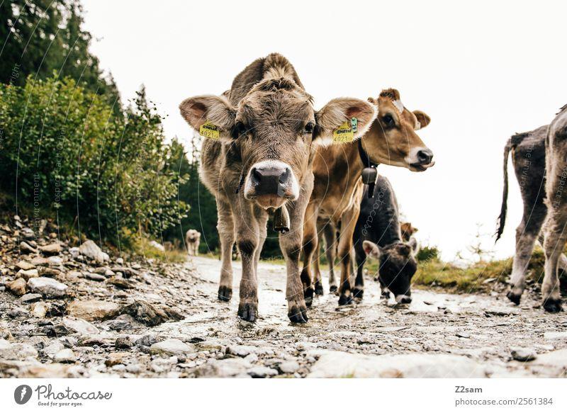 Pitztaler Jungvieh Natur Landschaft Tier ruhig Berge u. Gebirge Tierjunges Herbst Wege & Pfade Zusammensein Freundschaft wandern Idylle stehen Perspektive