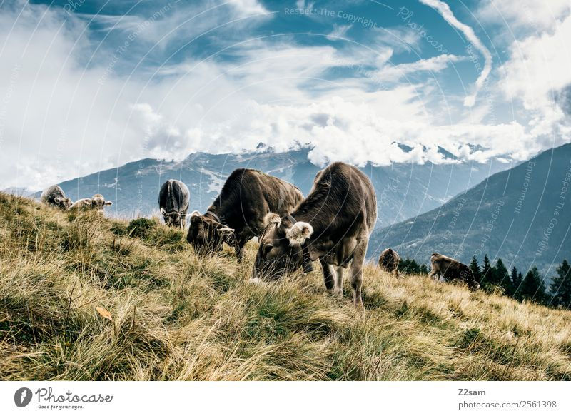 Pitztaler Kühe Ferien & Urlaub & Reisen Berge u. Gebirge wandern Umwelt Natur Landschaft Himmel Wolken Sommer Schönes Wetter Wiese Alpen Gipfel Nutztier Kuh
