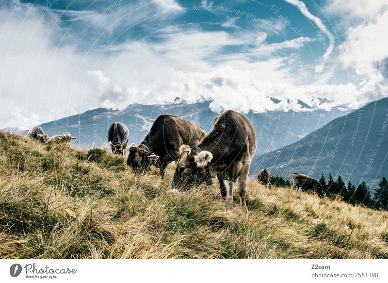 Pitztaler Kühe Himmel Natur Ferien & Urlaub & Reisen Sommer blau schön Landschaft Wolken ruhig Berge u. Gebirge Essen Umwelt natürlich Wiese Zusammensein braun