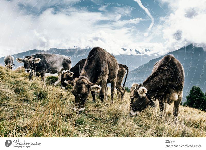 Pitztaler Kühe Himmel Natur Sommer blau Landschaft Wolken Berge u. Gebirge Essen natürlich Gras Freundschaft stehen Schönes Wetter Gipfel Neugier Alpen