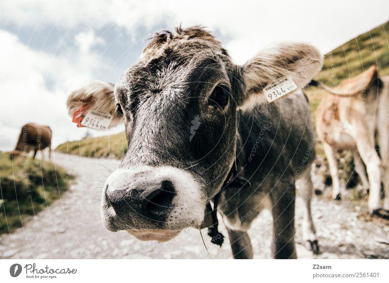 Pitztaler Kuh Berge u. Gebirge wandern Feste & Feiern Natur Landschaft Himmel Wolken Sommer Schönes Wetter Nutztier 1 Tier Herde Blick Freundlichkeit schön