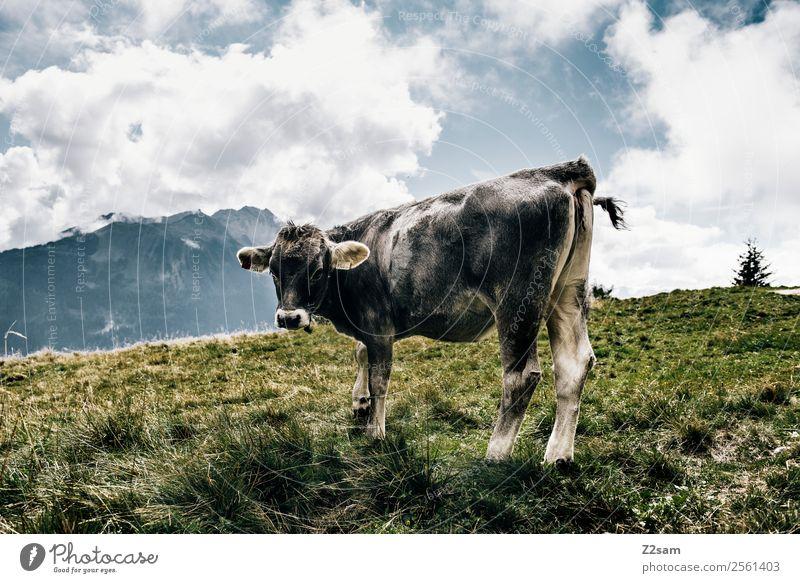 Pitztaler Kuh Berge u. Gebirge wandern Feste & Feiern Natur Landschaft Himmel Wolken Schönes Wetter Gras Alpen Nutztier 1 Tier stehen natürlich grau Kraft alpin