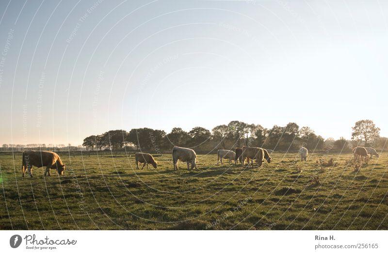 Glückliche Kühe Landwirtschaft Forstwirtschaft Natur Landschaft Herbst Wiese Tier Nutztier Kuh Tiergruppe Herde Fressen authentisch natürlich grün Stimmung