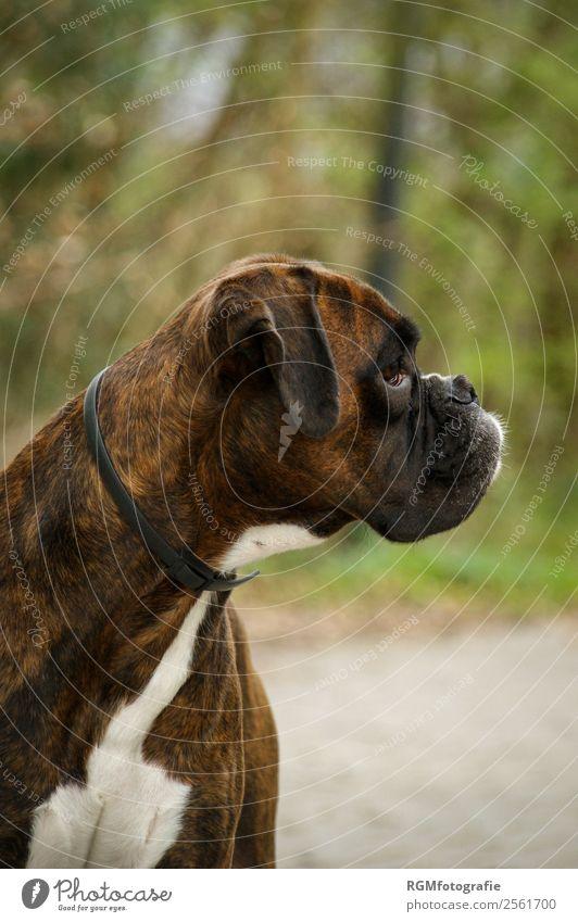 Boxer Portrait Seite Natur Ein Lizenzfreies Stock Foto Von Photocase
