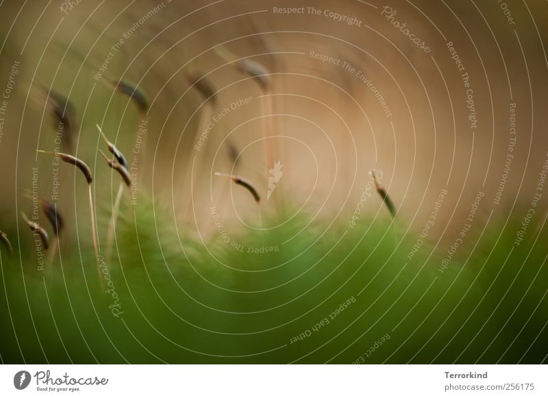 the.beans.go.marching Moos grün weich Unschärfe klein Makroaufnahme scharf braun Natur Pflanze wirzwei.