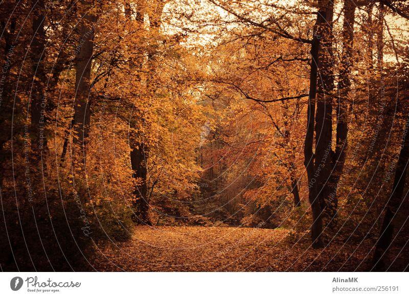 Herbstwald Umwelt Natur Baum Blatt Wald braun gelb schwarz Waldspaziergang Bürgerpark Farbfoto Außenaufnahme Menschenleer Tag Zentralperspektive