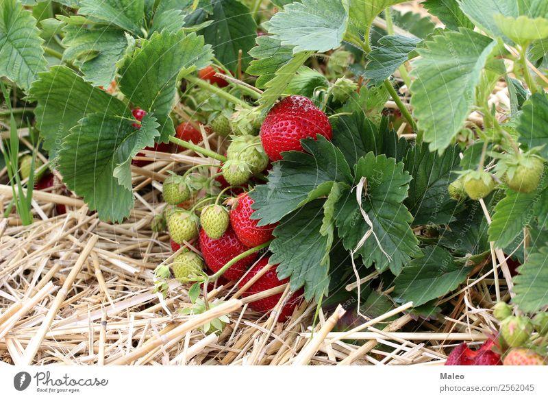 Erdbeeren Beeren Feld Ernte Landwirtschaft Bündel Sträucher lecker Ernährung Lebensmittel frisch Garten grün Gesunde Ernährung Landschaft Blatt reif Sommer