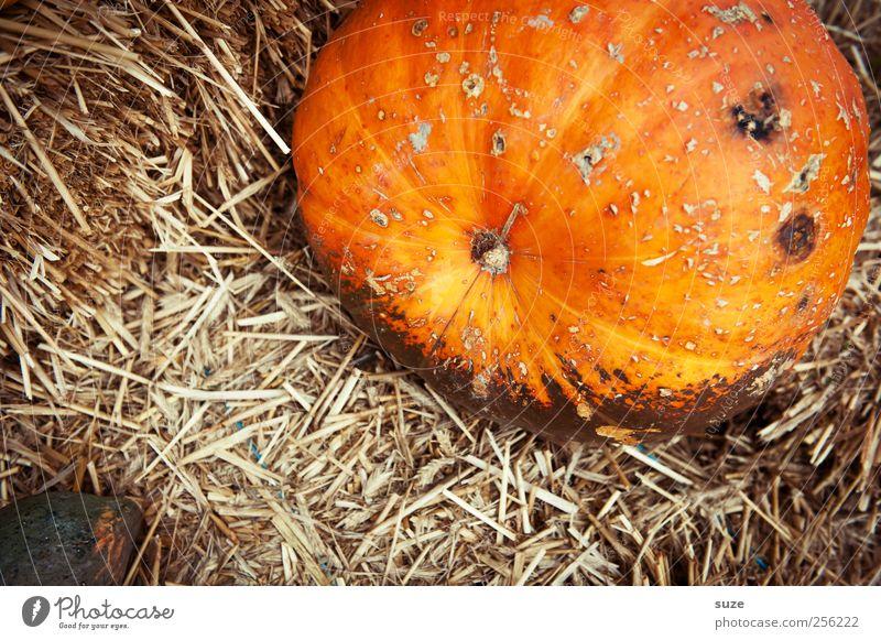 Strohwitwer Herbst Feste & Feiern orange natürlich Lebensmittel groß Dekoration & Verzierung niedlich rund Gemüse dick Bioprodukte herbstlich Halloween Stroh Kürbis