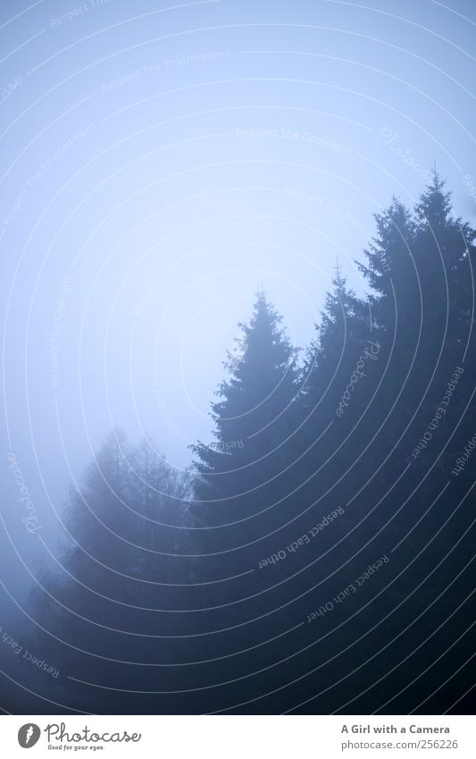 norwegian wood Umwelt Natur Landschaft Pflanze Urelemente Herbst Winter schlechtes Wetter Nebel Baum Wald dunkel natürlich blau Nadelwald Norden ruhig