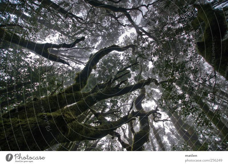 Nebelwald grün Baum Pflanze Sommer dunkel braun Nebel natürlich Klima Urwald Moos strecken Flechten Nebelwald