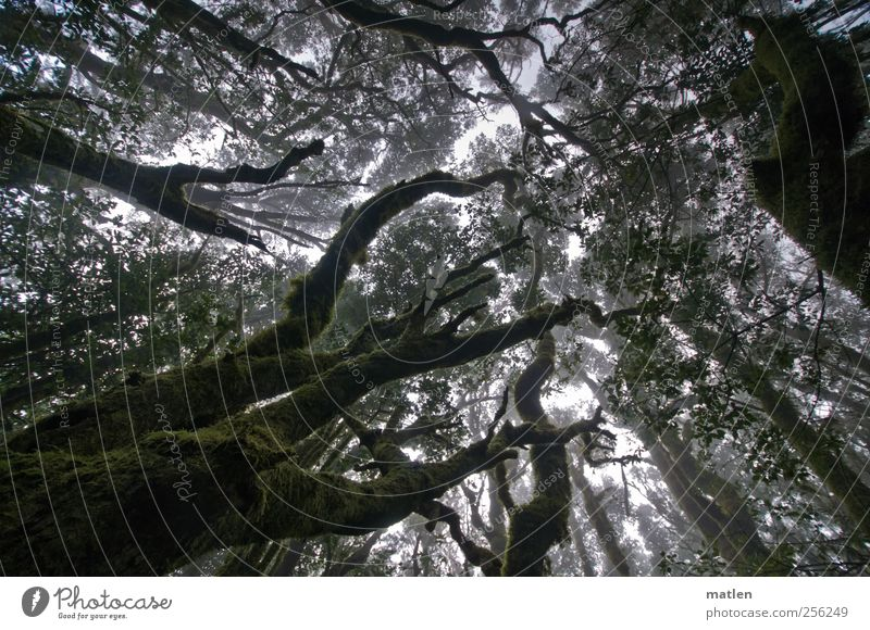 Nebelwald grün Baum Pflanze Sommer dunkel braun natürlich Klima Urwald Moos strecken Flechten