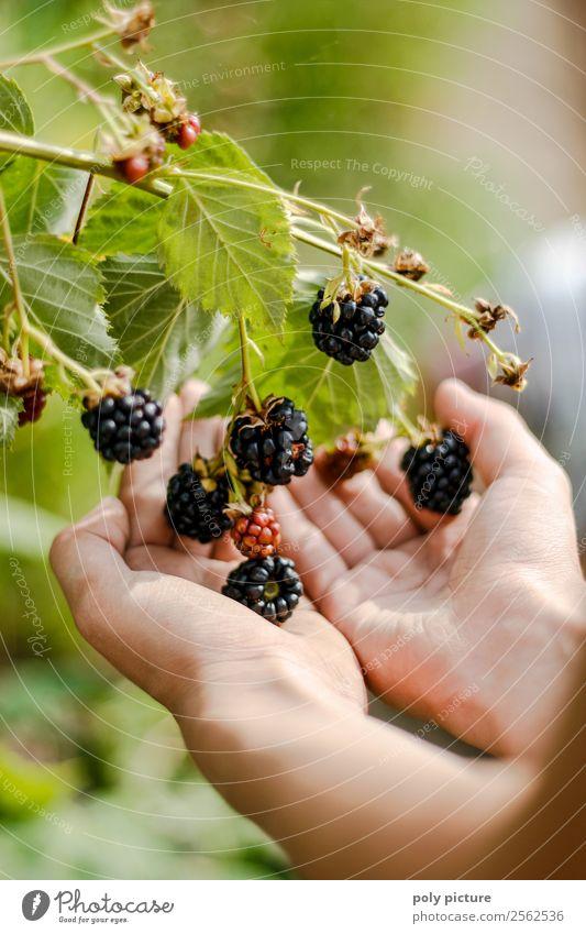 Kinderhand hält Brombeeren Natur Jugendliche Gesunde Ernährung Junge Frau Sommer Pflanze Junger Mann Hand Wald Mädchen Erwachsene Herbst Umwelt Garten