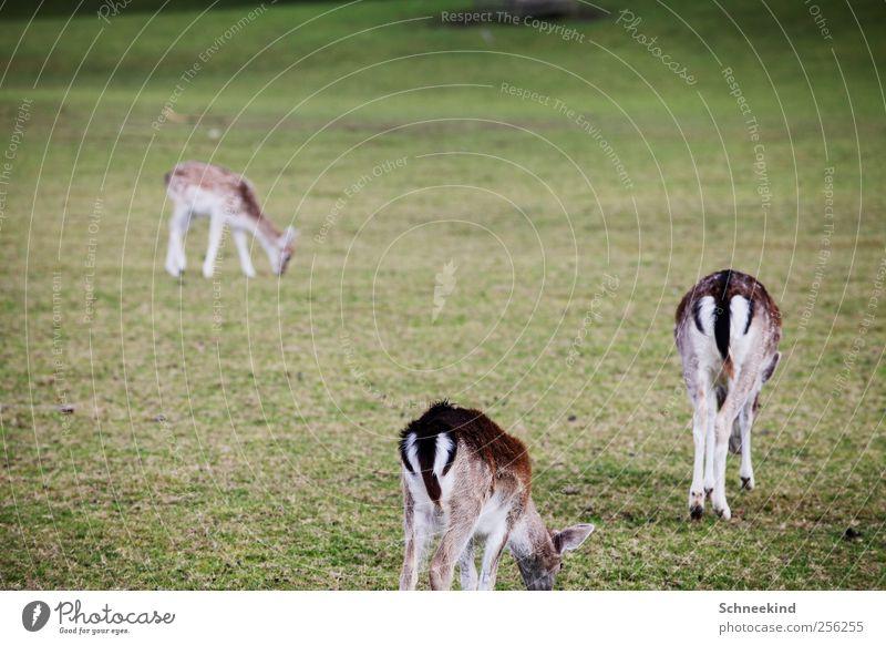 An Guadn Natur Pflanze Tier Herbst Umwelt Wiese Landschaft Gras Wildtier Fell Hinterteil dünn Fressen vertrocknet füttern Reh
