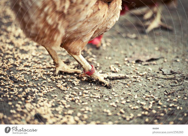 Chicken Rings Tier Gesunde Ernährung braun Erde Tierfuß Kreis Feder Urelemente Landwirtschaft Bauernhof Bioprodukte Korn tierisch Fressen