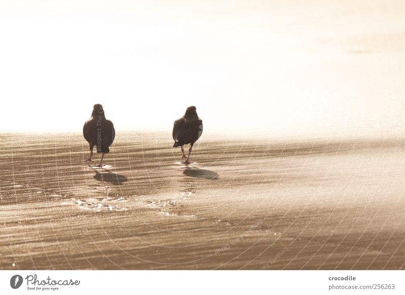New Zealand 173 Umwelt Schönes Wetter Küste Strand Insel Neuseeland Tier Wildtier Vogel Austernfischer 2 Tierpaar loyal Sympathie Freundschaft Zusammensein