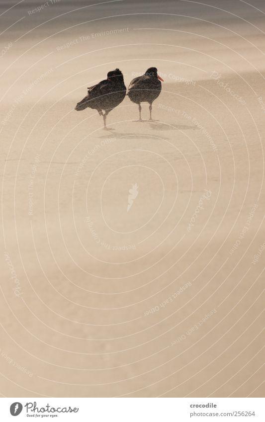 New Zealand 174 Strand Tier Liebe Umwelt Küste Freundschaft Vogel Zusammensein Tierpaar Wildtier Insel authentisch Schönes Wetter Sympathie Neuseeland Tierliebe