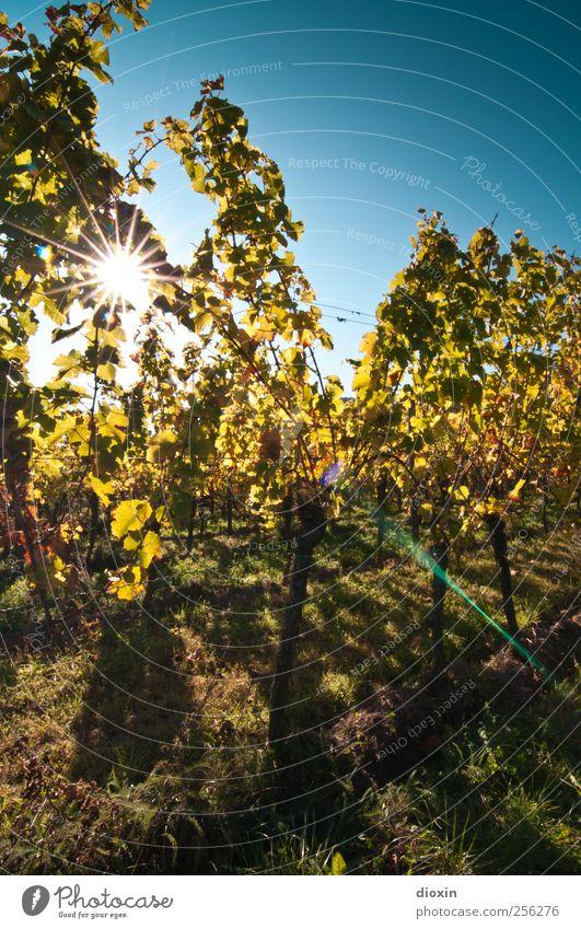 sonnengereift Sekt Prosecco Champagner Landwirtschaft Forstwirtschaft Weinbau Winzer Herbst Pflanze Nutzpflanze Weinberg leuchten Wachstum Natur Farbfoto