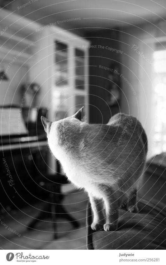 Ein Blick zurück ruhig Tier Katze träumen Stimmung Wohnung warten stehen Häusliches Leben Neugier rein Sofa Wohnzimmer Klavier Haustier Fernweh