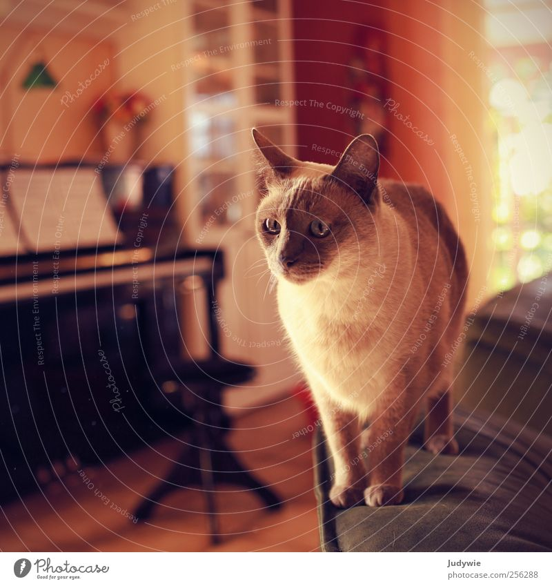 Zeitlos Häusliches Leben Wohnung Möbel Sofa Wohnzimmer Klavier Tier Haustier Katze hören stehen rot Stimmung schön ruhig Weisheit Reinheit Neugier Interesse