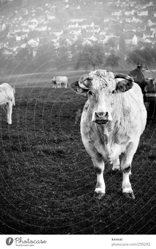 Ungleichheiten weiß Baum Tier Haus Gras Feld groß stehen Tiergruppe Tiergesicht Fell Dorf Gelassenheit Kuh Horn Neigung