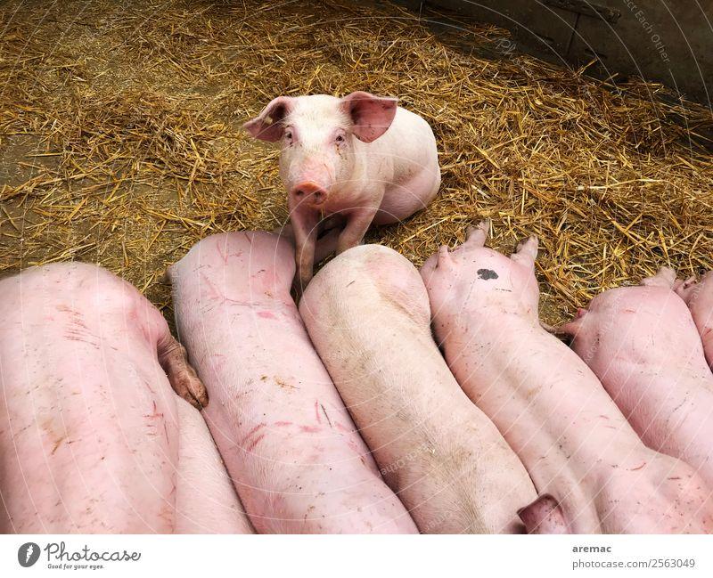 Junge Schweine auf Stroh Tier Tierjunges rosa Tiergruppe Landwirtschaft Fleisch Nutztier Stall