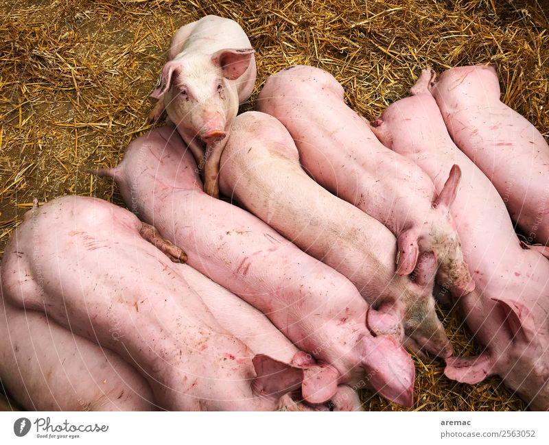 Schweine im Stall Tier Nutztier Heu Stroh Tiergruppe Fressen füttern rosa Fleisch Bauernhof Tierzucht Farbfoto Außenaufnahme Luftaufnahme Tag Tierporträt