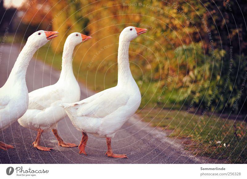 Gänsemarsch wandern Umwelt Natur Sommer Herbst Landweg Gras Straßenverkehr Fußgänger Wege & Pfade Haustier Nutztier Flügel Gans Tiergruppe Tierfamilie gehen