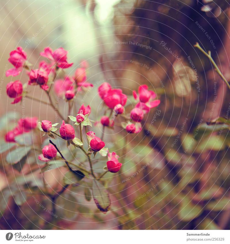 Dankbare Blüher Natur schön Pflanze Sommer Blume Umwelt Herbst Garten Frühling Park rosa Wachstum Romantik Rose Kitsch rein