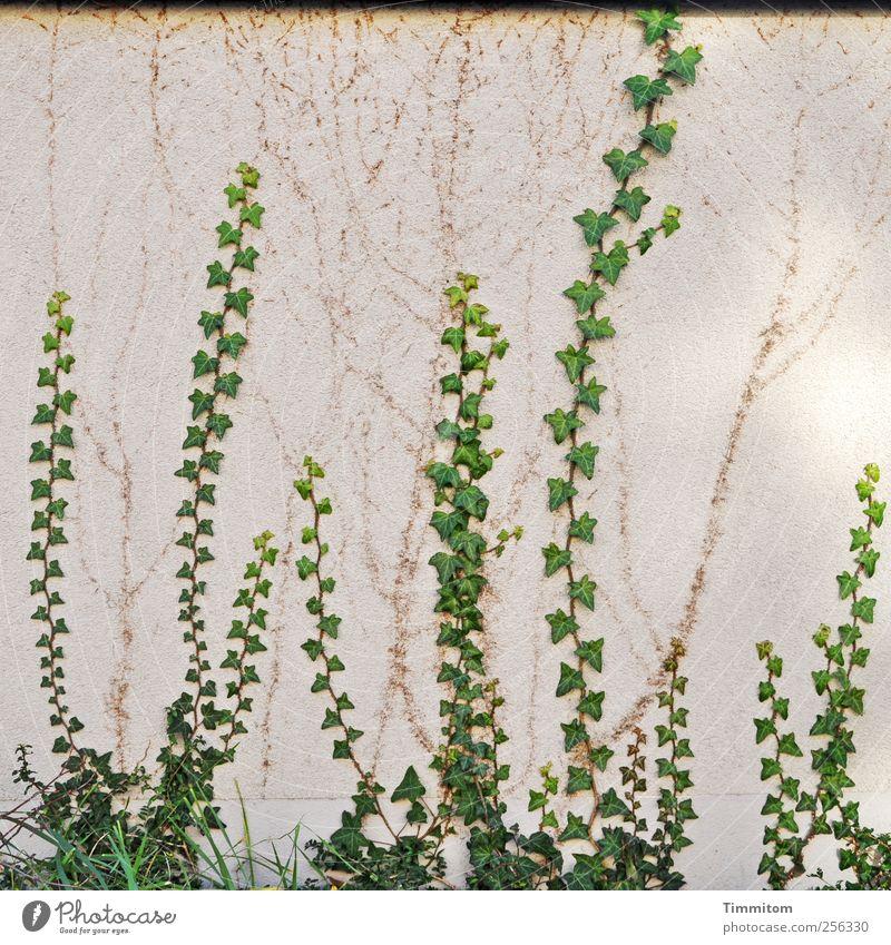 Grün mit Wachstumsbremse Pflanze Efeu Haus Mauer Wand Beton ästhetisch natürlich grün weiß anstrengen Klettern hoch Spuren Farbfoto Gedeckte Farben