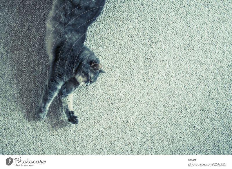 Stretching Fell Tier Haustier Katze Krallen Pfote 1 Erholung lustig niedlich grau Hauskatze Teppich dehnen strecken tierisch Farbfoto mehrfarbig Innenaufnahme