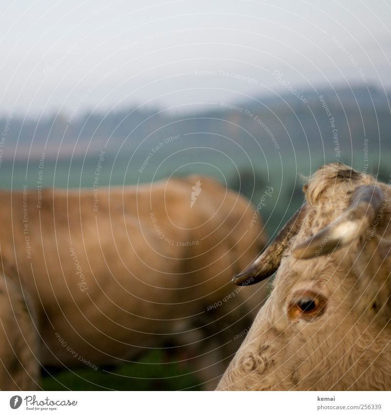 Ungleichheiten II Natur Landschaft Herbst Wiese Feld Weide Viehweide Tier Nutztier Kuh Tiergesicht Fell Horn Auge Wimpern Rind 2 Blick stehen braun krumm