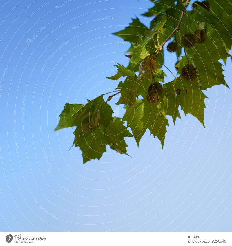 Sonnenherbst Umwelt Natur Pflanze Himmel Wolkenloser Himmel Herbst Wetter Schönes Wetter Baum Blatt blau grün Ast Frucht hängen Farbfoto Außenaufnahme