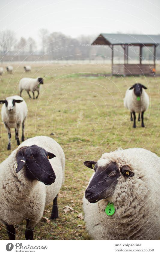 schäfchen zählen... Umwelt Natur Pflanze Tier schlechtes Wetter Nebel Wiese Feld Weide Nutztier Schaf Herde beobachten stehen Zusammensein natürlich rund grün