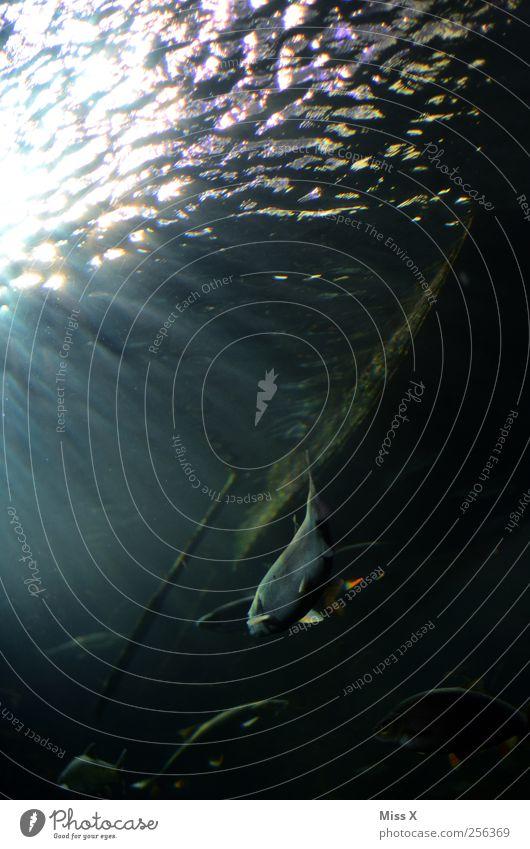 Unterwasserwelt See Bach Fluss Tier Fisch Schwarm Schwimmen & Baden Farbfoto Außenaufnahme Unterwasseraufnahme Menschenleer Reflexion & Spiegelung Sonnenlicht