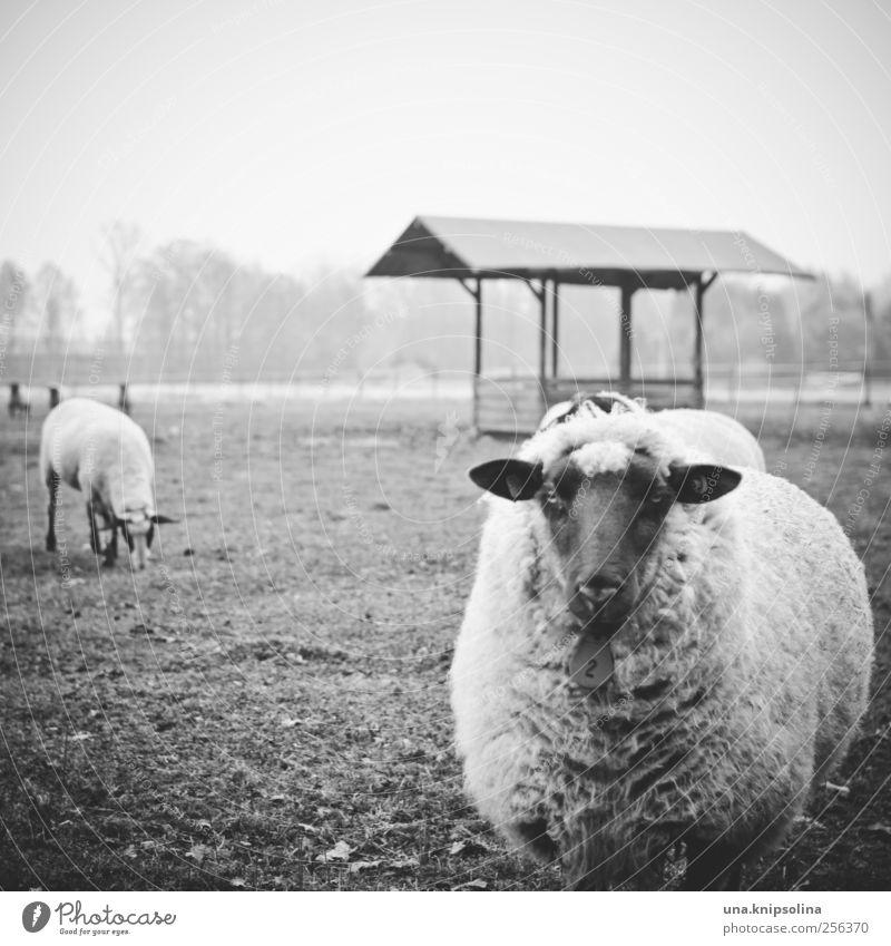 nummer 2 Natur Tier Wiese Umwelt Feld Nebel natürlich stehen rund weich Neugier Tiergesicht Weide Schaf Fressen schlechtes Wetter