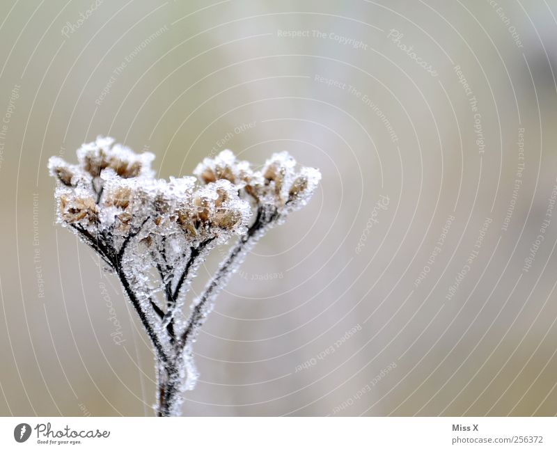 Eiskalt Natur Pflanze Winter schlechtes Wetter Frost Blume Blüte kaputt Vergänglichkeit Raureif Farbfoto Gedeckte Farben Außenaufnahme Nahaufnahme