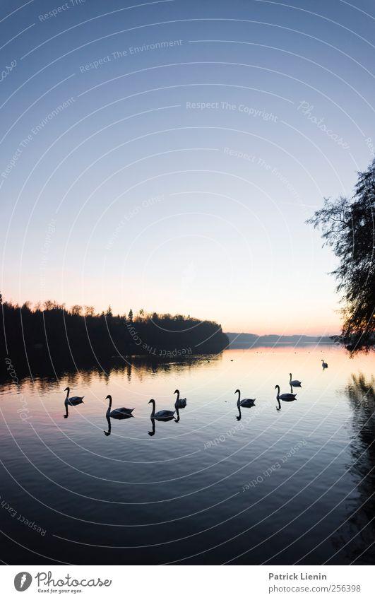 Black swans Umwelt Natur Landschaft Tier Urelemente Luft Wasser Himmel Wolkenloser Himmel Sonnenaufgang Sonnenuntergang Herbst Winter Wetter Schönes Wetter Wald