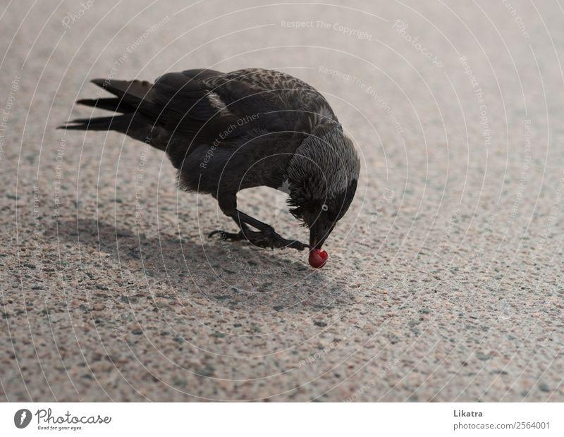 Der Rabe Kirschendieb Frucht Essen Natur Tier Sommer Straße Wildtier Vogel Flügel Rabenvögel Krähe 1 frech frei Neugier wild schwarz klug Appetit & Hunger