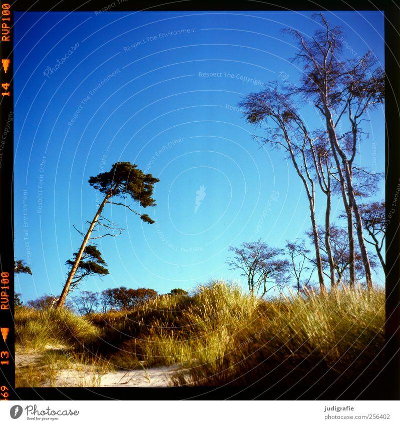 Weststrand Umwelt Natur Landschaft Pflanze Klima Schönes Wetter Baum Gras Küste Ostsee Darß natürlich wild blau Stimmung Windflüchter Farbfoto Außenaufnahme