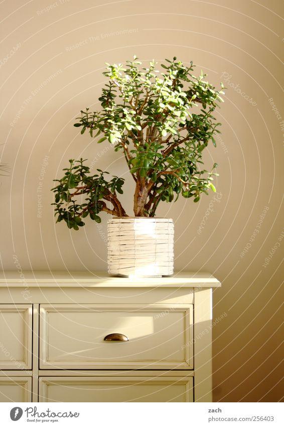 Bonsoir Bonsai Häusliches Leben Wohnung Innenarchitektur Dekoration & Verzierung Möbel Schrank Kommode Pflanze Grünpflanze Topfpflanze Holz weiß Farbfoto