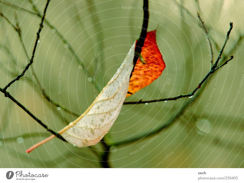Herbst Umwelt Natur Pflanze Wassertropfen Winter Klima schlechtes Wetter Nebel Regen Baum Blatt Grünpflanze Holz fallen verblüht kalt braun gelb grün Verfall
